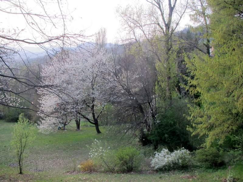 Radura dei ciliegi